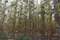 Teak forest